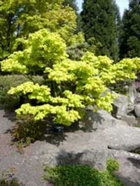 Acer shirasawanum 'Aureum' / Japanischer Gold-Ahorn