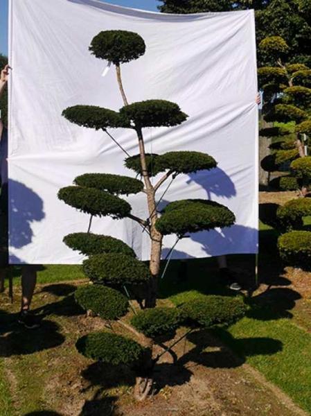 Taxus baccata H: 230 cm B: 140 cm / Garten-Bonsai (0174)