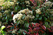 Photinia-bluete