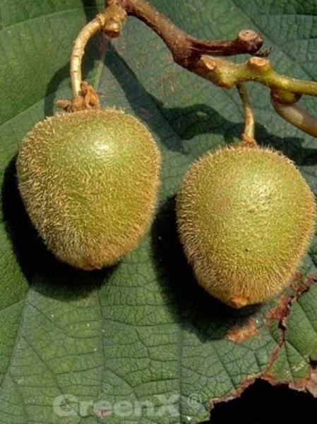 Actinidia deliciosa 'Jenny ®' / Kiwi 'Jenny'