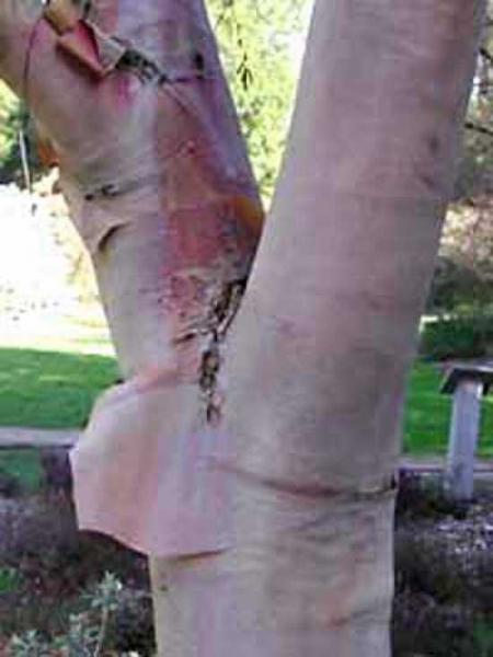 Betula albosinensis / Kupfer-Birke / Chinesische Birke