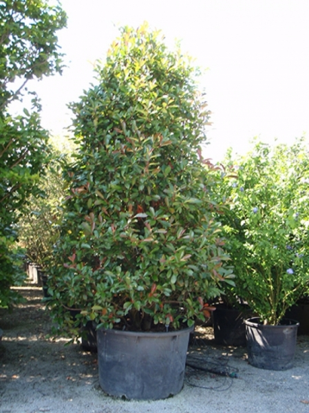 Photinia fraseri 'Red Robin' / Glanzmispel 300-350 cm im 250-Liter Container