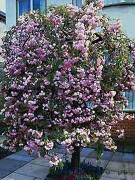 Prunus Serrulata Kiku Shidare Hangende Nelken Kirsche Gunstig Kaufen