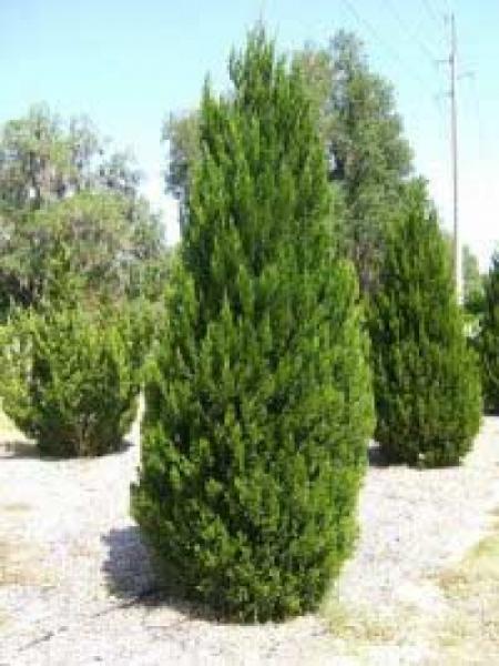 Juniperus chinensis 'Spartan' / Zypressen-Wacholder / Wacholder 'Spartan'