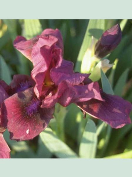 Iris barbata-nana 'Pastel Charme' / Garten-Zwerg-Schwertlilie 'Pastel Charme'