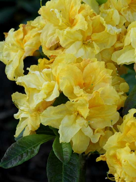 Azalea 'Yellow Cloud' / Laubabwerfende Azalee 'Yellow Cloud'
