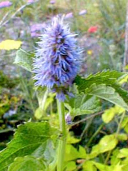 Agastache foeniculum / Anis-Duftnessel