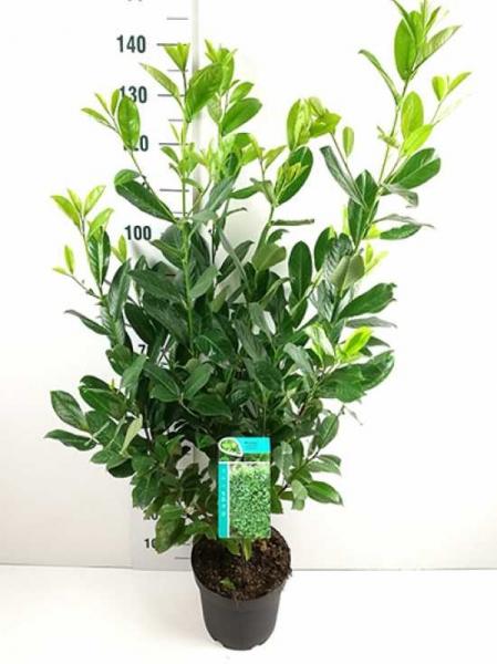 Prunus laurocerasus 'Rotundifolia' / Kirschlorbeer 'Rotundifolia' 100-125 cm im C7 Container