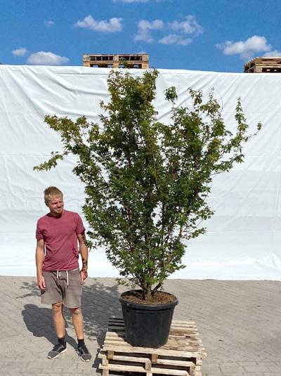 Acer palmatum 'Red Wood' / Japanischer Fächerahorn 'Red Wood' 250-300 cm (1214)