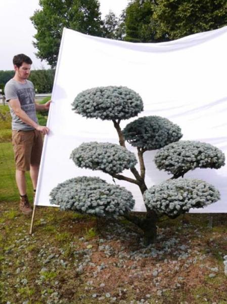 Picea pungens 'Glauca' H: 160 B: 170 cm / Garten-Bonsai (0016)