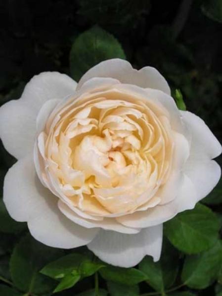 Rosa 'Glamis Castle ®' / Englische Rose 'Glamis Castle'