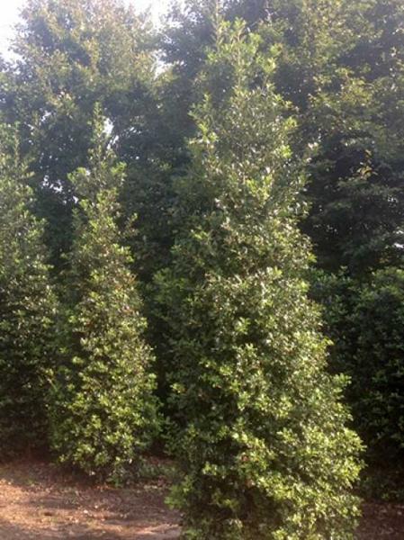 Ilex aquifolium / Stechpalme 350-400 cm Solitär mit Drahtballierung
