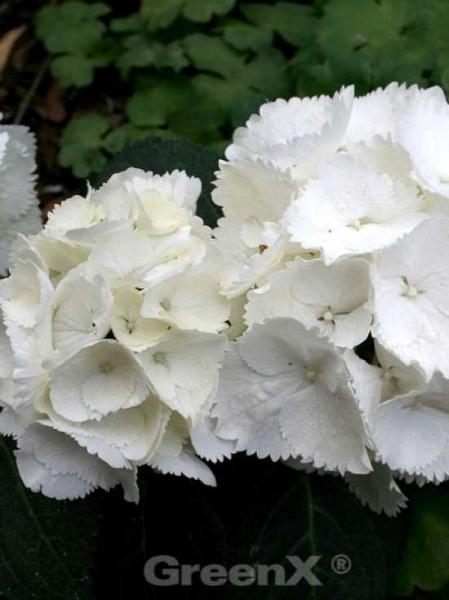 Hydrangea macrophylla 'Nymphe' / Bauern-Hortensie 'Nymphe'