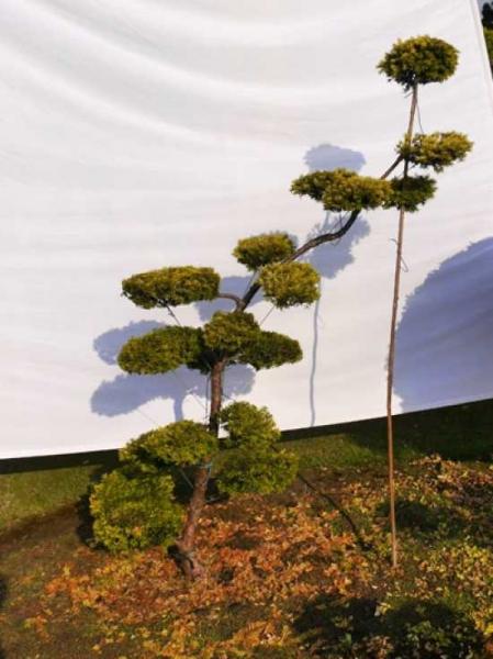 Taxus baccata 'Semperaurea' H: 170 cm B: 150 cm / Garten-Bonsai (0075)