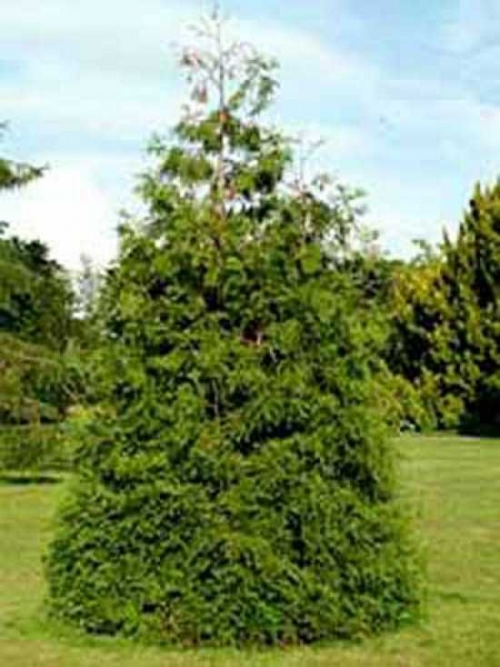 Thujopsis dolabrata / Hiba-Lebensbaum