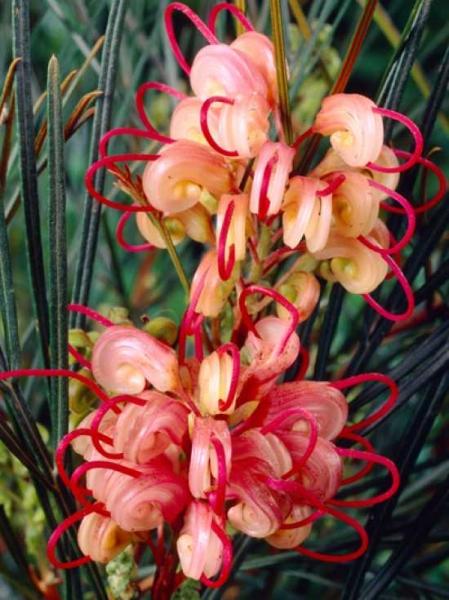 Grevillea semperflorens / Australische Silbereiche / Spinnenpflanze