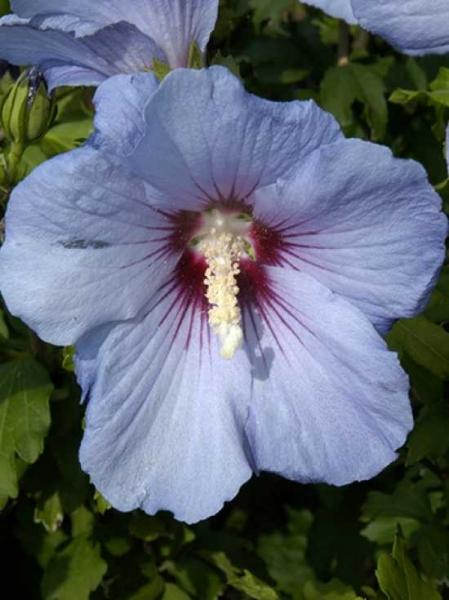 Hibiscus syriacus 'Blue Bird' / Garten-Eibisch 'Blue Bird' / Strauch-Eibisch 'Blue Bird'