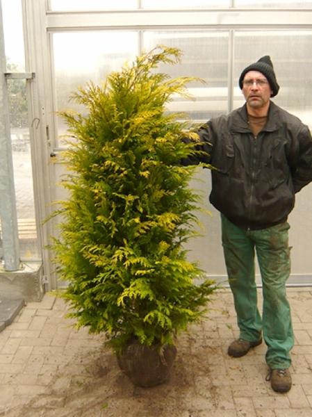 Chamaecyparis lawsoniana 'Stardust' / Scheinzypresse 'Stardust' 160-180 cm mit Ballierung