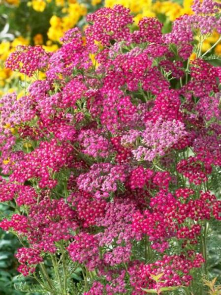 Achillea millefolium 'Red Beauty' / Schafgarbe 'Red Beauty'
