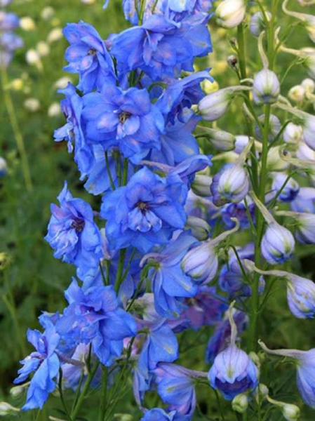 Delphinium elatum New Millennium F1 'Blue Lace' / Hoher Rittersporn