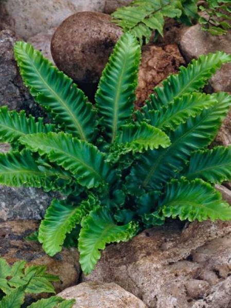 Phyllitis Scolopendrium Hirschzungen Farn