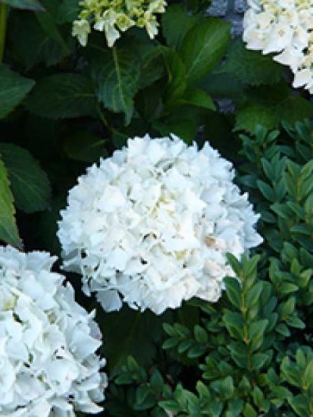 Hydrangea macrophylla 'Coco Blanc' / Bauern-Hortensie 'Coco Blanc'