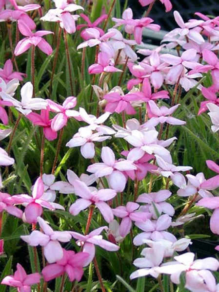 Rhodohypoxis baurii 'Stella' / Garten-Grasstern