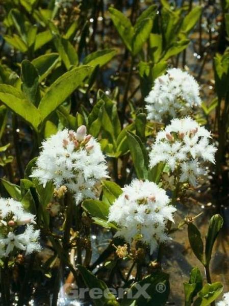 Menyanthes trifoliata / Bitter-Klee / Fieber-Klee