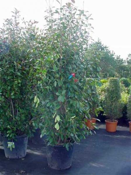 Photinia fraseri 'Red Robin' / Glanzmispel 175-200 cm im 70-Liter Container