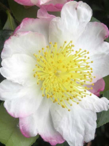 Camellia sasanqua 'Hino De Gumo' / Herbst-Kamelie 'Hino De Gumo'