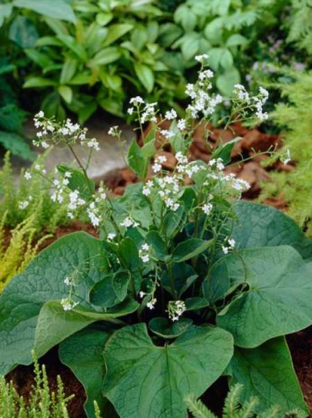 Brunnera macrophylla 'Betty Bowring' / Kaukasus-Vergissmeinnicht