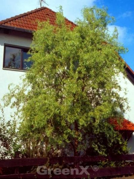 Salix matsudana 'Tortuosa Aurea' / Gelbe Korkenzieherweide
