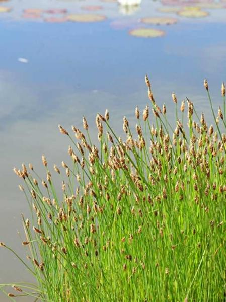 Eleocharis palustris / Sumpf-Simse / Sumpf-Ried