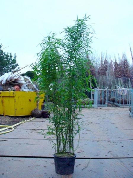 Phyllostachys bissetii / Bisset Bambus 150-175 cm im 20-Liter Container