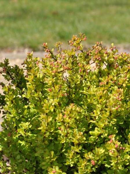 Berberis thunbergii 'Golden Nugget' / Gelbe Zwergberberitze 'Golden Nugget'