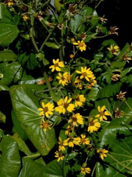 Farfugium japonicum / Kreuzkraut