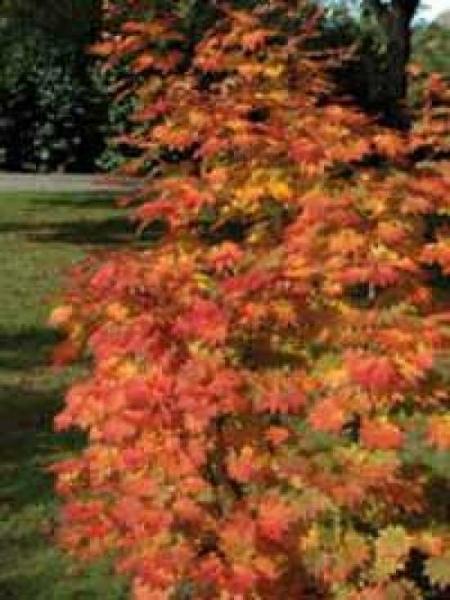Acer japonicum 'Vitifolium' / Weinblättriger Japan-Ahorn