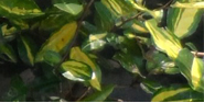 maculata1_kl