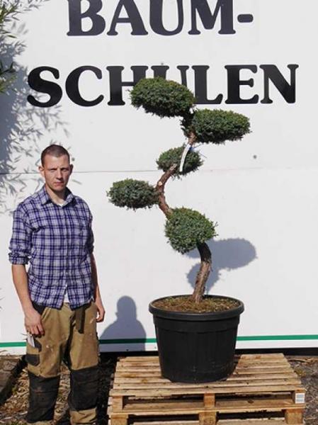 Juniperus chinensis 'Blue Alps' H: 125-150 cm / Garten-Bonsai (2511)