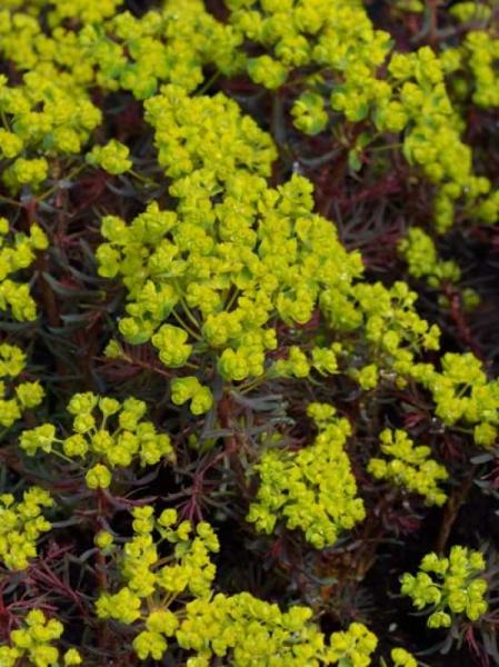 Euphorbia cyparissias 'Fens Ruby' (Clarice Howard) / Zypressen-Wolfsmilch