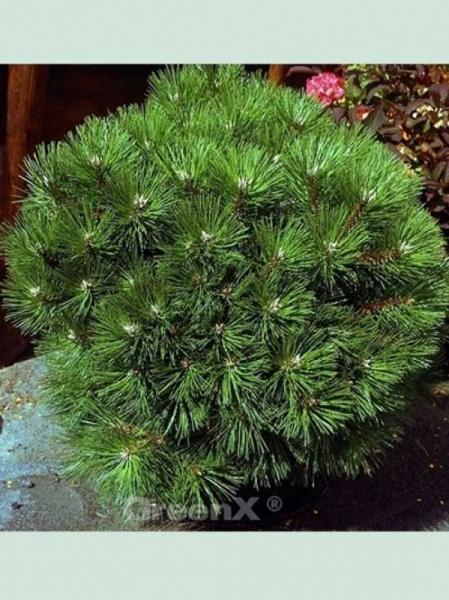 Pinus nigra 'Hornibrookiana' / Schwarzkiefer 'Hornibrookiana'