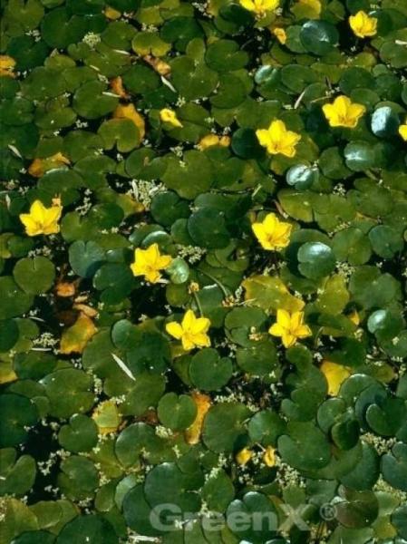 Nymphoides peltata / Seekanne / Europäische Seekanne