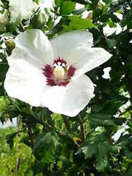 Hibiscus syriacus 'Red Heart ®' / Garten-Eibisch 'Red Heart' / Strauch-Eibisch 'Red Heart'