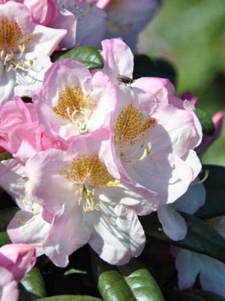 Rhododendron Hybride 'INKARHO Brigitte ®' / Rhododendron 'INKARHO Brigitte'