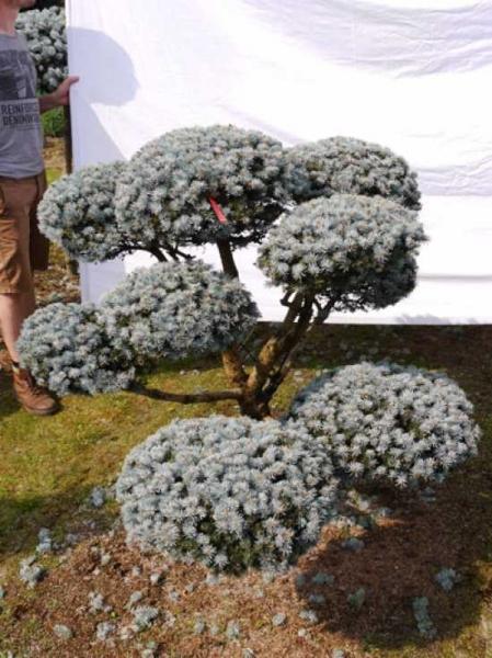 Picea pungens 'Glauca' H: 140 B: 140 cm / Garten-Bonsai (0003)