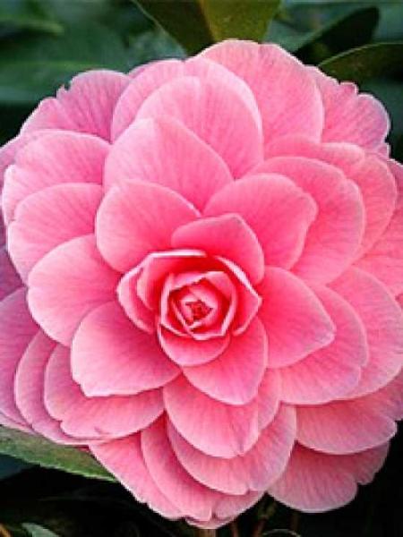 camellia japonica 39 mrs tingley 39 japanische kamelie 39 mrs tingley 39 g nstig kaufen. Black Bedroom Furniture Sets. Home Design Ideas