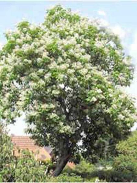 Catalpa bignonioides / Trompetenbaum