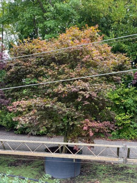 Acer palmatum 'Atropurpureum' 300-350 cm breit x 350-375cm hoch / Roter Fächerahorn (Nr.128)
