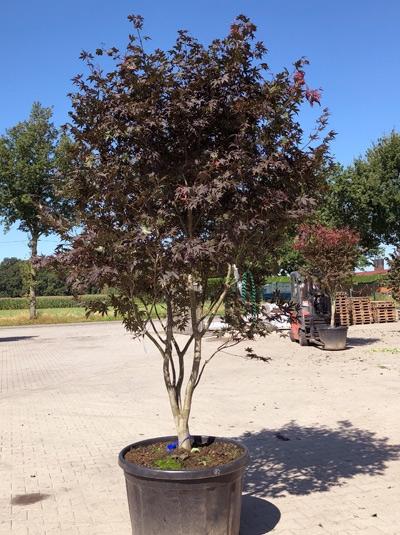 Acer palmatum 'Bloodgood' / Fächer-Ahorn / Japanischer Ahorn 300-350 cm (546809)