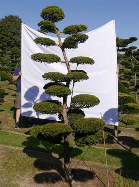 Taxus baccata 'Semperaurea' H: 260 cm B: 120 cm / Garten-Bonsai (0179)